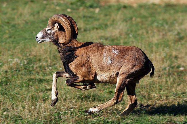 архар животное